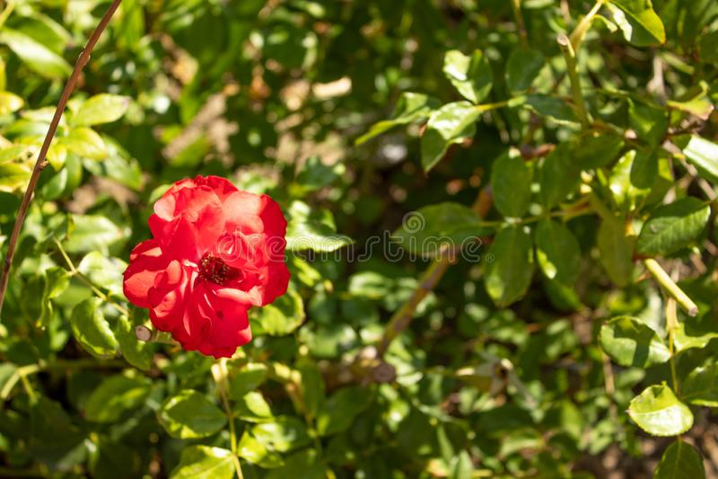 Red Bougainvillea flowers growing in the sunlight stock image