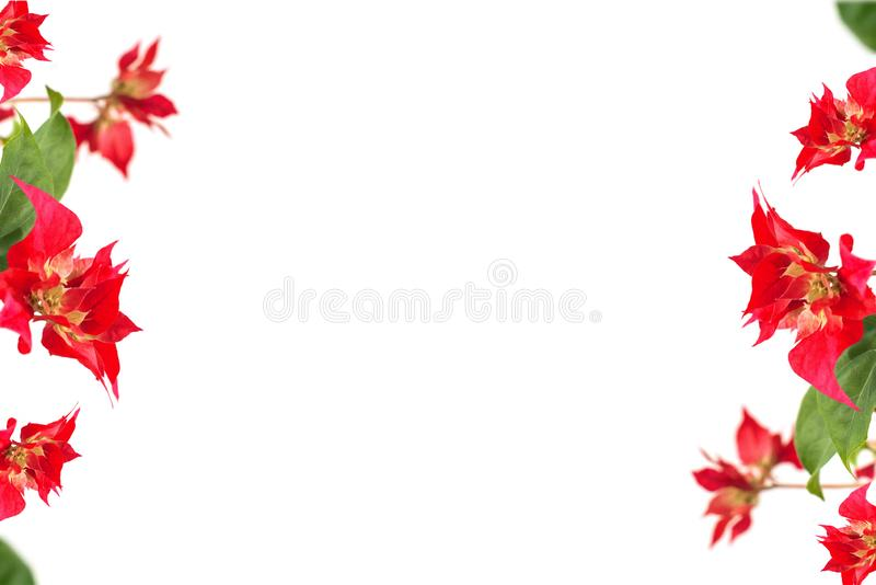 Red bougainvillea flowers on a white background. place for text. frame. copy space royalty free stock photography