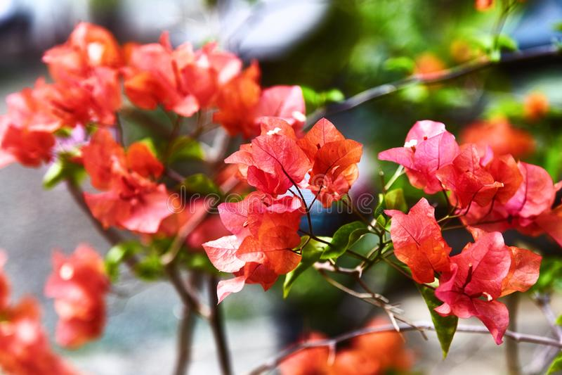 Red bougainvillea spectabilis flower. Exotic rare colorful tropical flowers. Close-up. Beautiful and bright flowers of Sri Lanka. royalty free stock photo