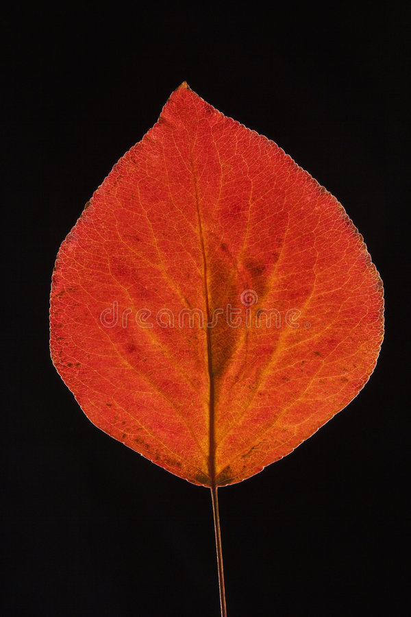 Red Bradford pear leaf on black. royalty free stock photography