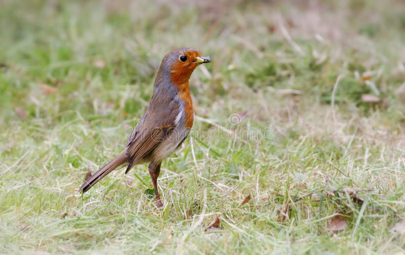 Download Red Breasted Bird Outdoors Stock Photos - Image: 14015403