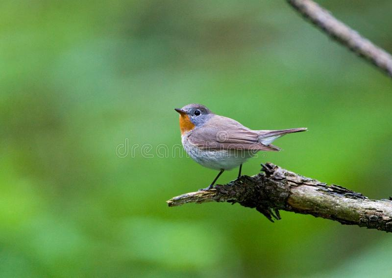 Red-breasted Flycatcher. Perched stock image