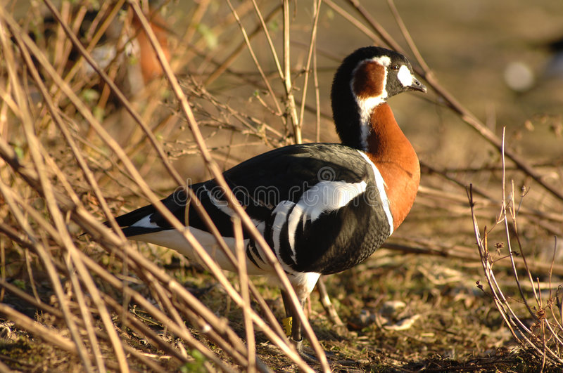 Download Red Breasted Goose In Reeds Royalty Free Stock Photography - Image: 521757
