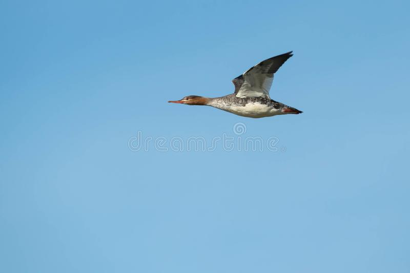 Download Red-breasted Merganser stock photo. Image of anseriformes - 104238022