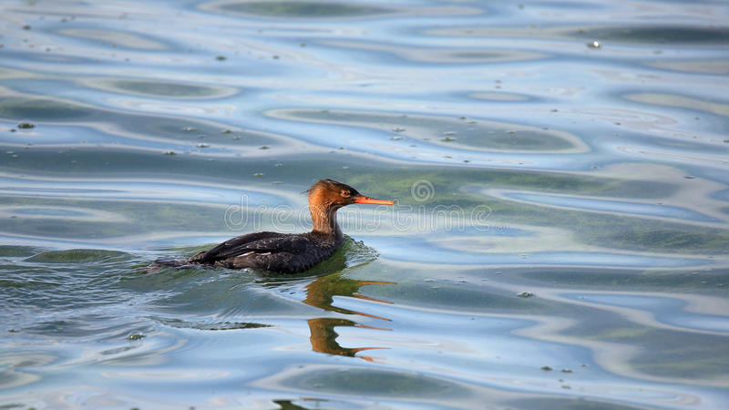 Download Red-breasted Merganser Swimming In Green Water Stock Photo - Image of waterfowl, aquatic: 83713904