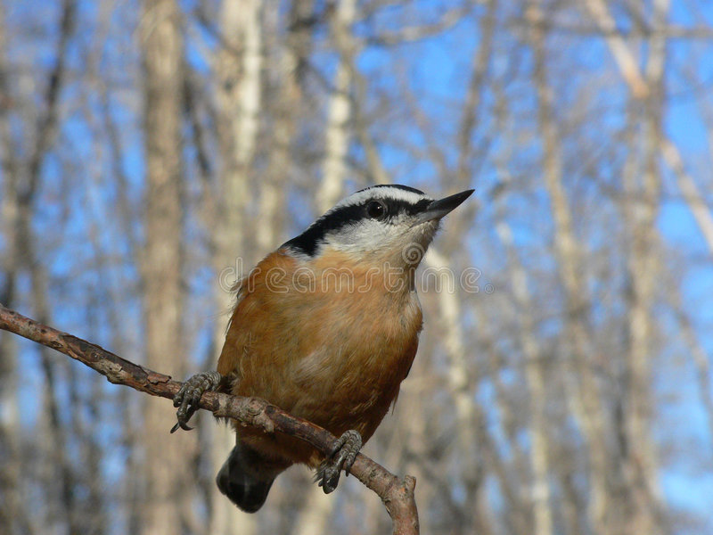 Download Red-breasted Nuthatch stock image. Image of animal, wild - 359385