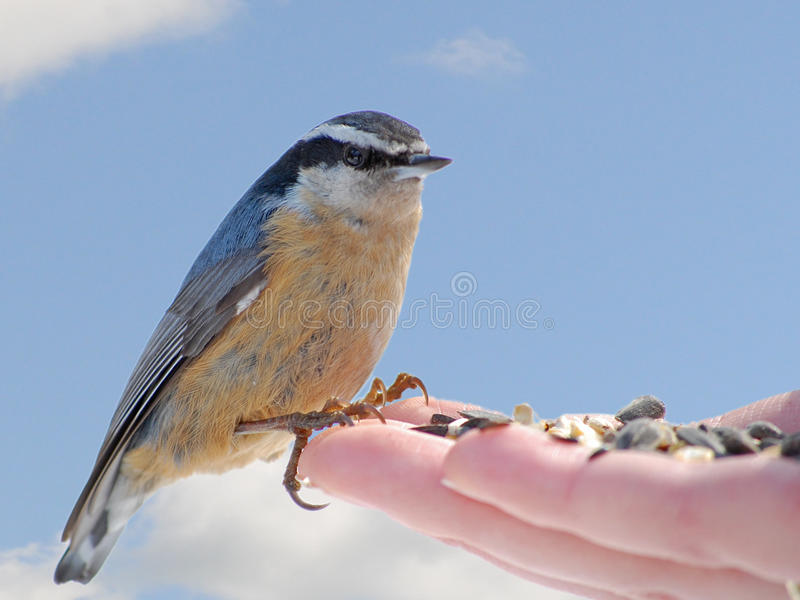 Red-breasted Nuthatch Eating In Hand Royalty Free Stock Images