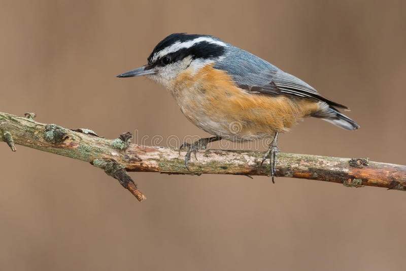 Red-breasted Nuthatch royalty free stock photography