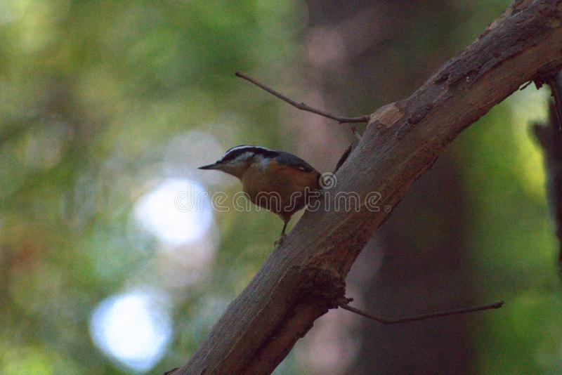 Red-Breasted Nuthatch Perched on Large Muscadine Vine royalty free stock images