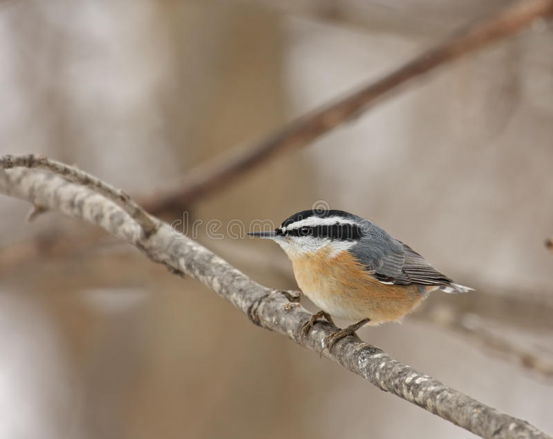 Red-breasted Nuthatch (Sitta canadensis) royalty free stock photos