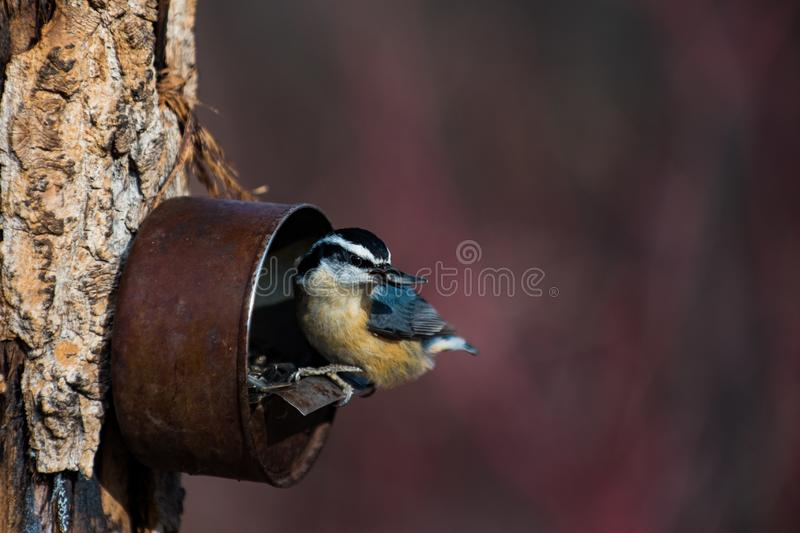 Red-breasted Nuthatch Sitta canadensis royalty free stock photography
