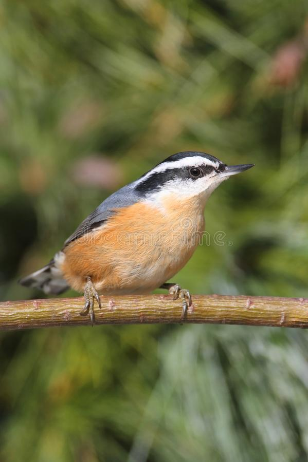 Red-breasted Nuthatch (sitta canadensis) On A Perch stock photos