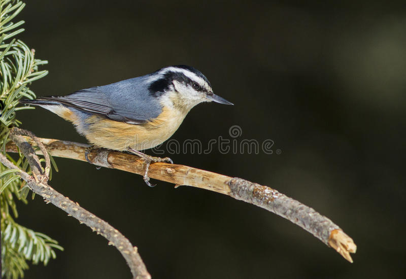 Download Red-breasted Nuthatch stock image. Image of nature, winter - 29902355