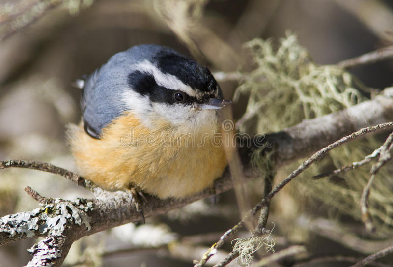 Download Red-breasted Nuthatch stock photo. Image of grey, nature - 29902570