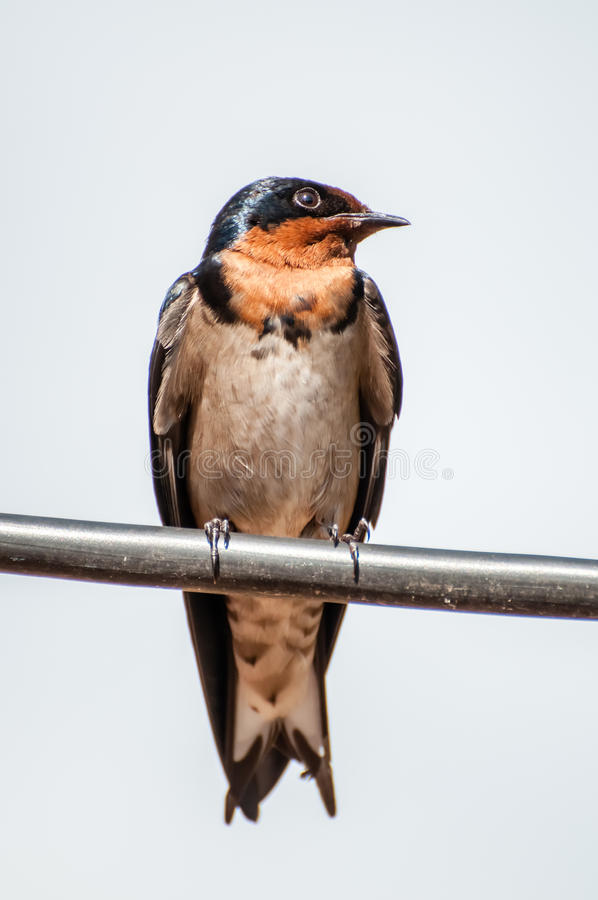 Red-Breasted Swallow royalty free stock photo