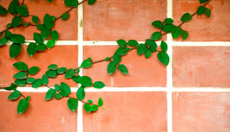 Red brick wall with green plant leaf creepers. royalty free stock photo