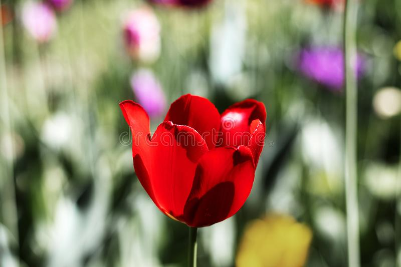 Red bright full bloomed tulip flower close-up. Single flower in the field with blurry. Background stock image