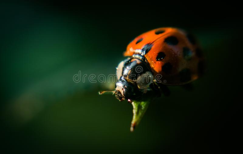 Red bright ladybug on the background of green fresh rose leaves in a dark evening garden stock photos
