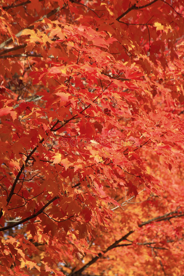 Free Red Bright Leaves Fall Colors Stock Photos - 11460703