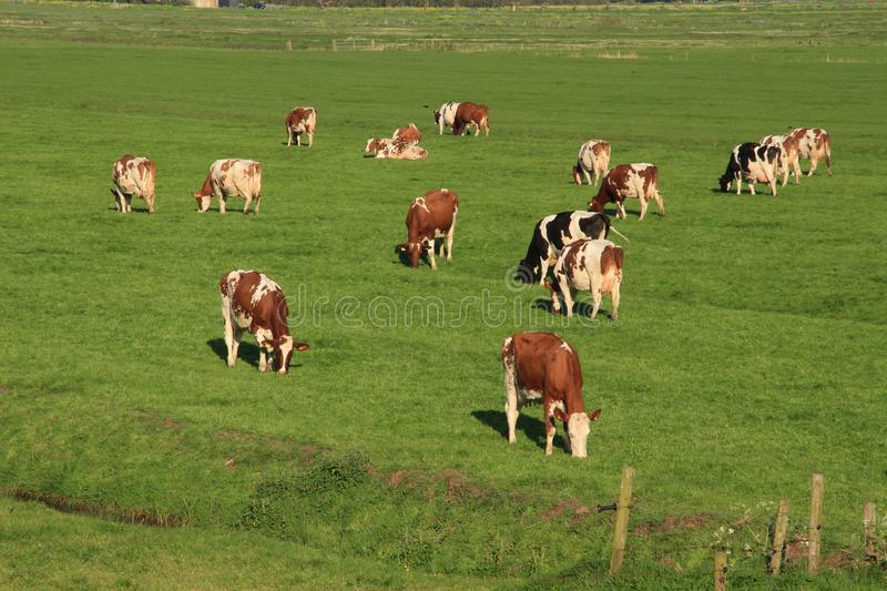 The red brindled and holsteins friesian cattle are grazing in the grassland at the countryside in the summer. royalty free stock photo