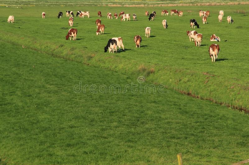 The red brindled and holsteins friesian cattle are grazing in the grassland at the countryside in the summer. royalty free stock images