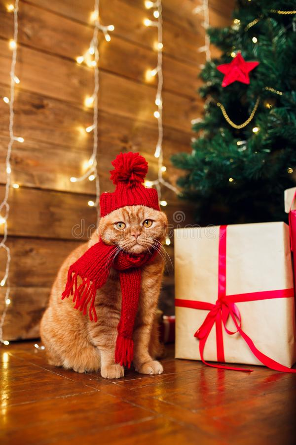 Red british cat in knitted hat and scarf sitting under Christmas tree and present boxes. royalty free stock photos