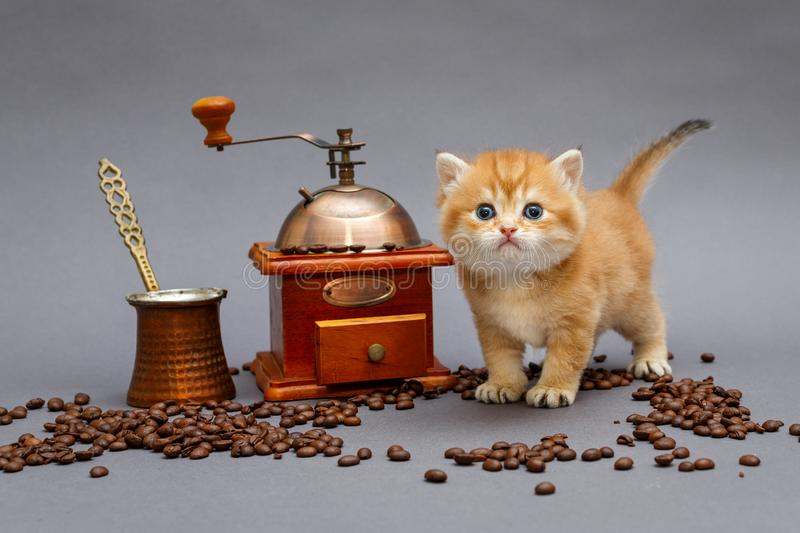 Red British kitten and coffee stock photos