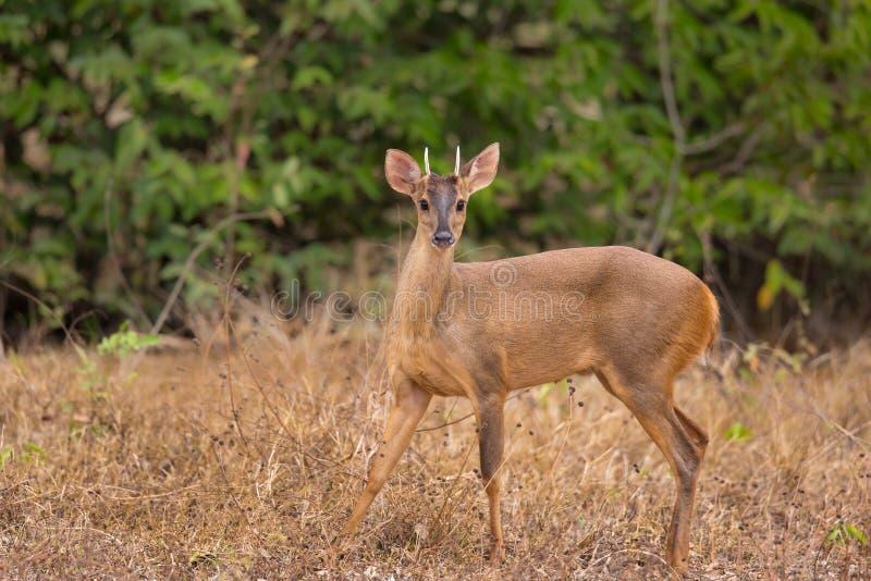 Red Brocket Deer looking at camera royalty free stock photography