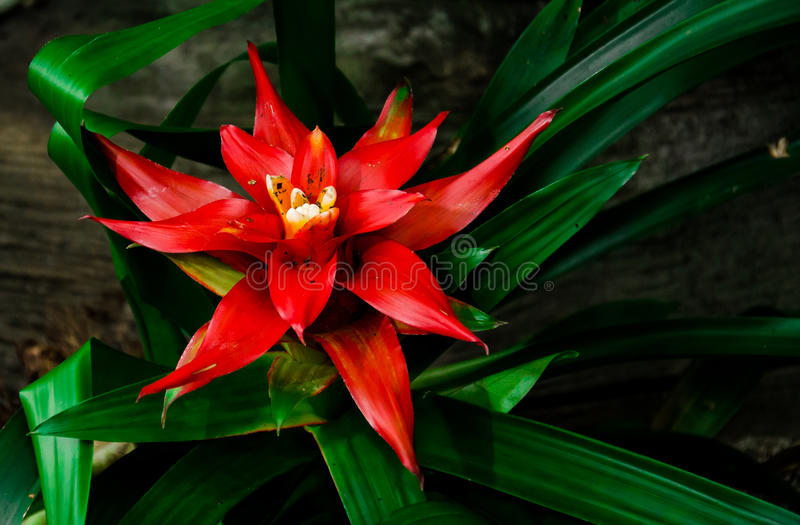 Download Red Bromeliad stock photo. Image of rainforest, tropical - 30950662