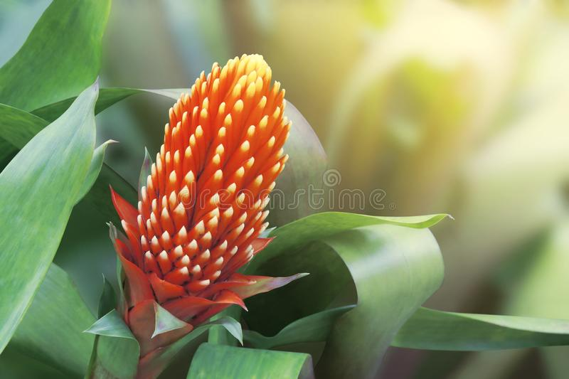 Red Bromeliad Flower on Blurred Natural Background with Retro Filter Effect. Red Bromeliad Tropical Flower on Blurred Natural Background with Retro Filter Effect stock image
