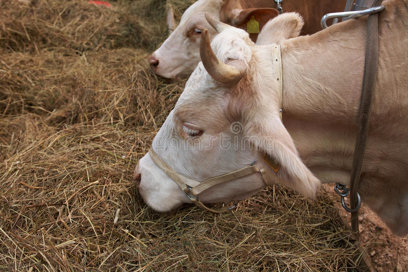 Download Red-broun neat stock photo. Image of meat, milk, animal - 18548422