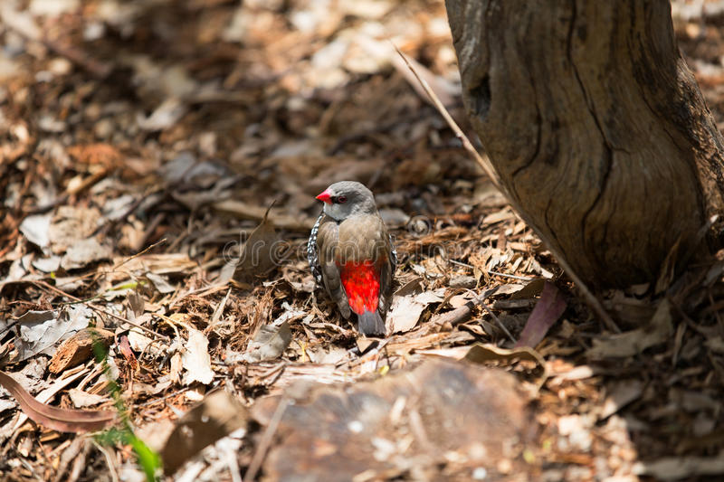 Red-browed firetail finch, Australia. Red-browed firetail finch, Australia royalty free stock photography