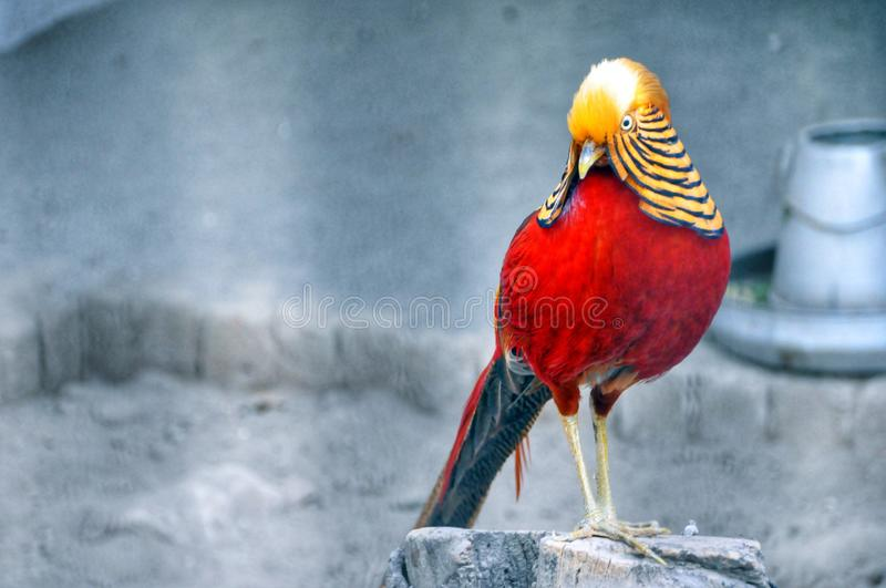 Red and Brown Bird Standing on Grey Wood Stump royalty free stock photo