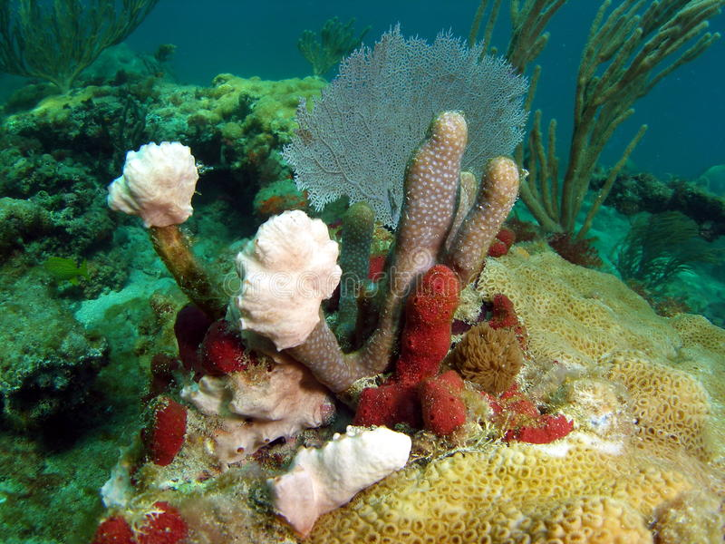 Red and Brown Coral. Mound at 18 feet off the coast of south Florida stock image