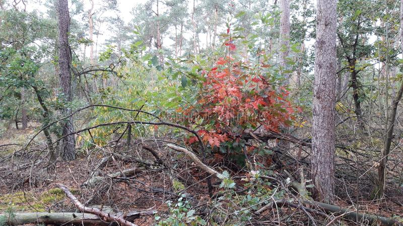 red and brown leaves in the Forest at `t Loo on the Veluwe in the Netherlands. royalty free stock photography