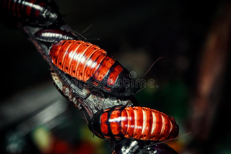 Red-brown Madagascar cockroaches royalty free stock image