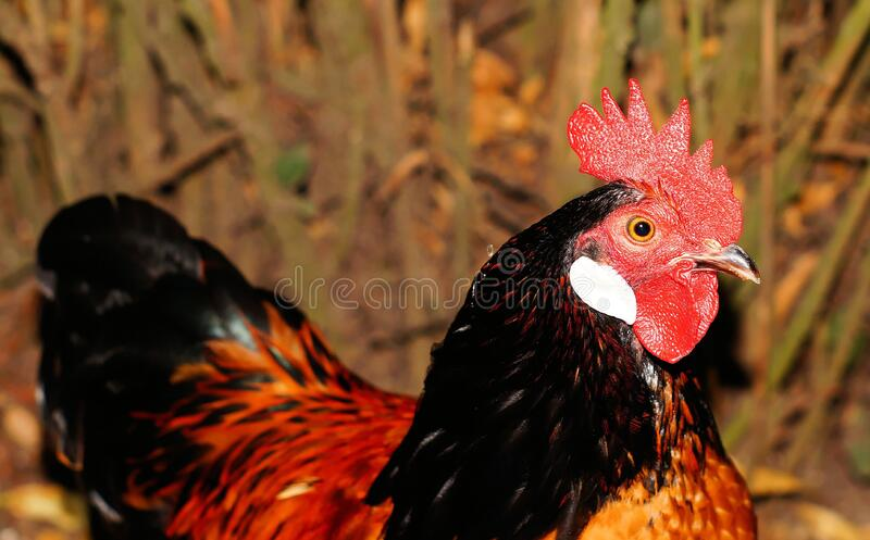 Red And Brown Rooster Free Public Domain Cc0 Image