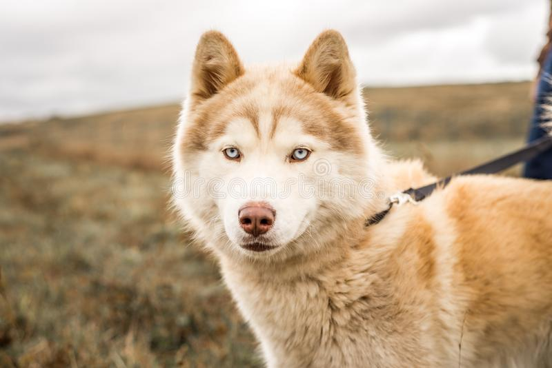 Red or brown and white malamute dog photographed outdoors, looking at camera stock photo