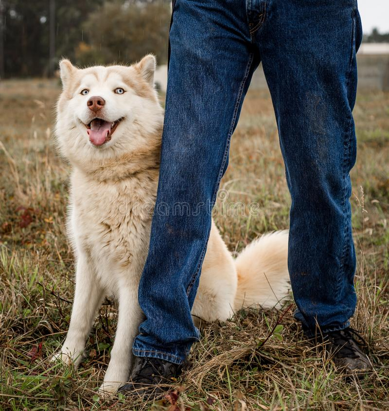 Red or brown and white malamute dog standing next to a person looking at camera royalty free stock photos