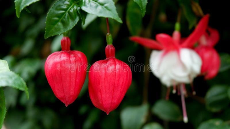 Red buds of Fuchsia flowers with another full bloom background. Nature concept. Hanging, new, begining, start, white, plant, blossom, growing, newlife, leaf royalty free stock photo