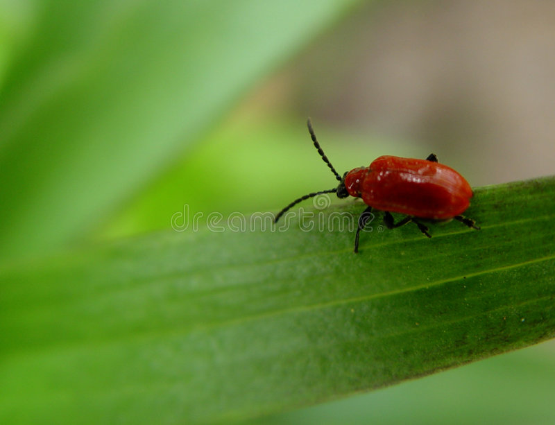 Download Red bug stock photo. Image of insects, blades, blade, insect - 14836