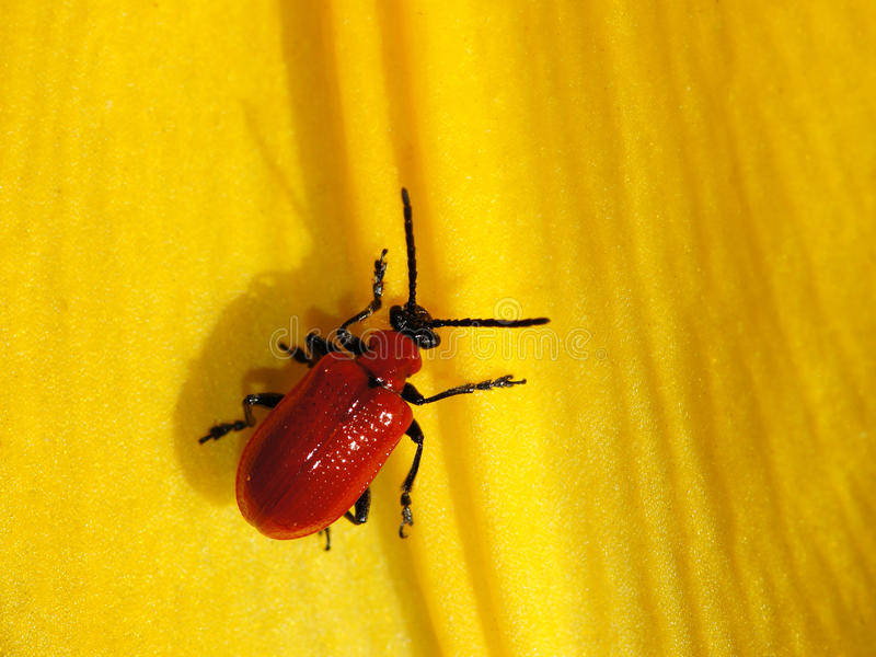Download Red Bug stock image. Image of close, animals, macro, bugs - 26811639