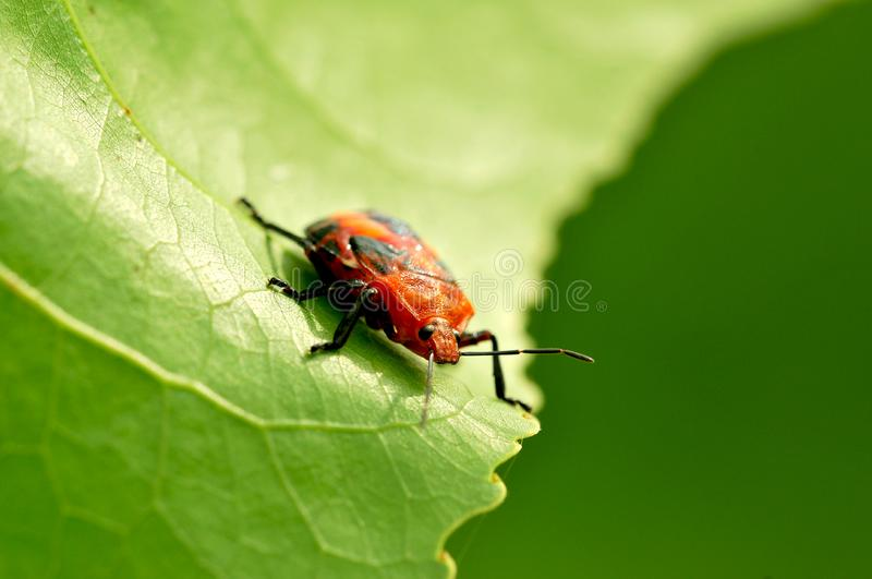 Download Red bug stock photo. Image of spots, wild, nature, leaf - 8477236