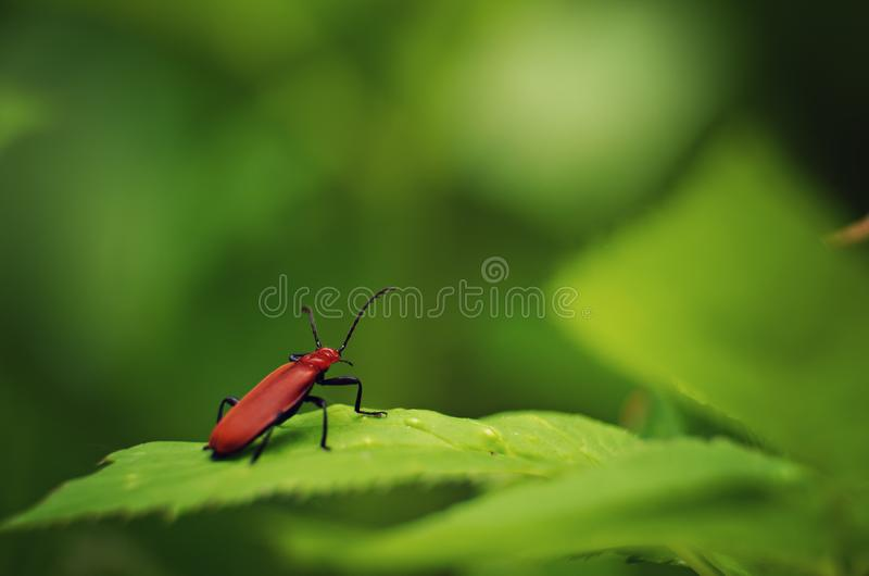 Red bug royalty free stock images