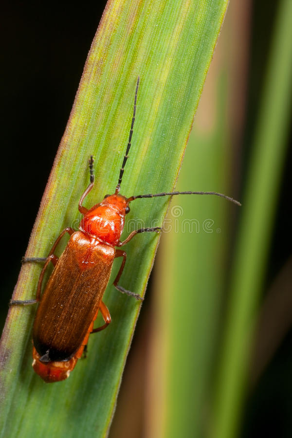 Download A red bug on the leaf stock photo. Image of brown, eyes - 11940010