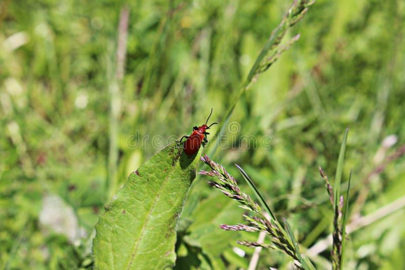 A red bug on leaf, Pyrochroa serraticornis stock image