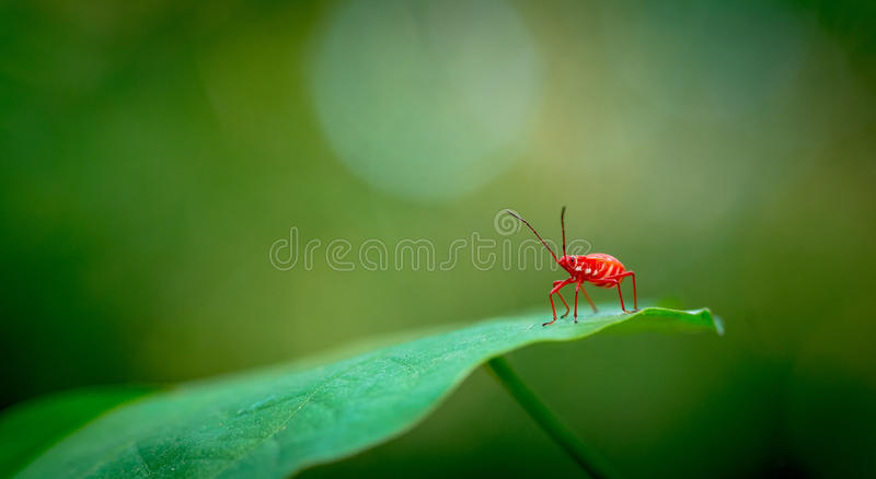 Red bug macro. Insect on green leaf stock photography