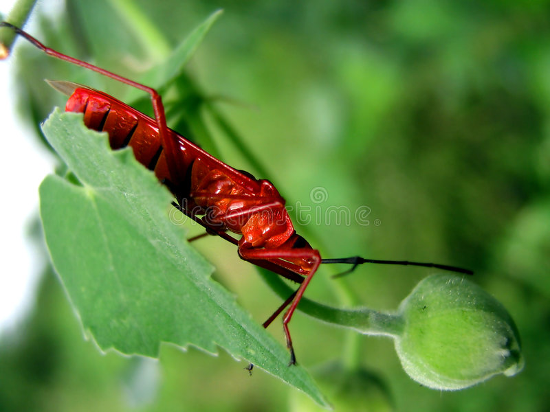 Red Bugs. A beautiful macro view of a red bug stock photo