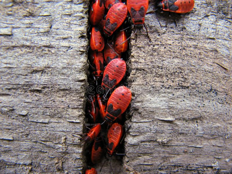 Red bugs stock photography