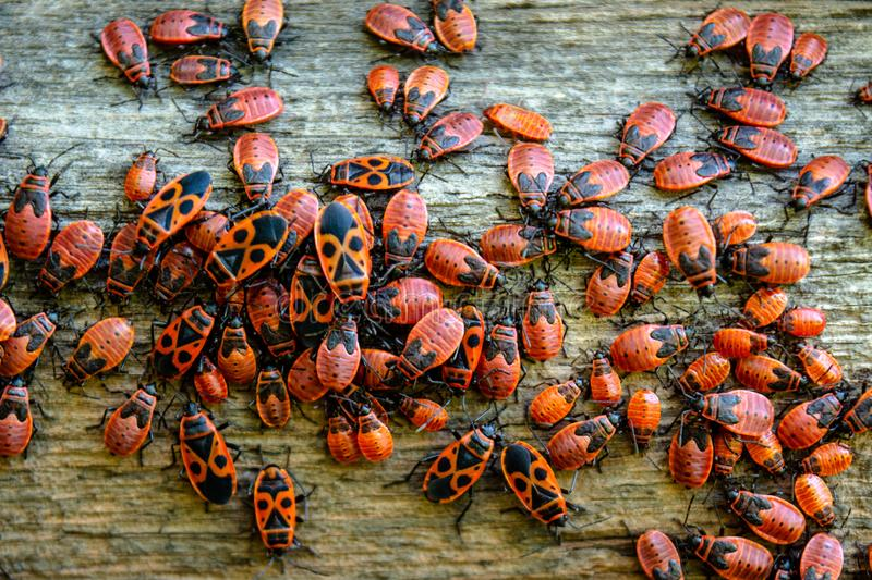 Red bugs colony located on the wooden fence during summer day stock photo